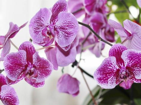 Cluster of pink orchids